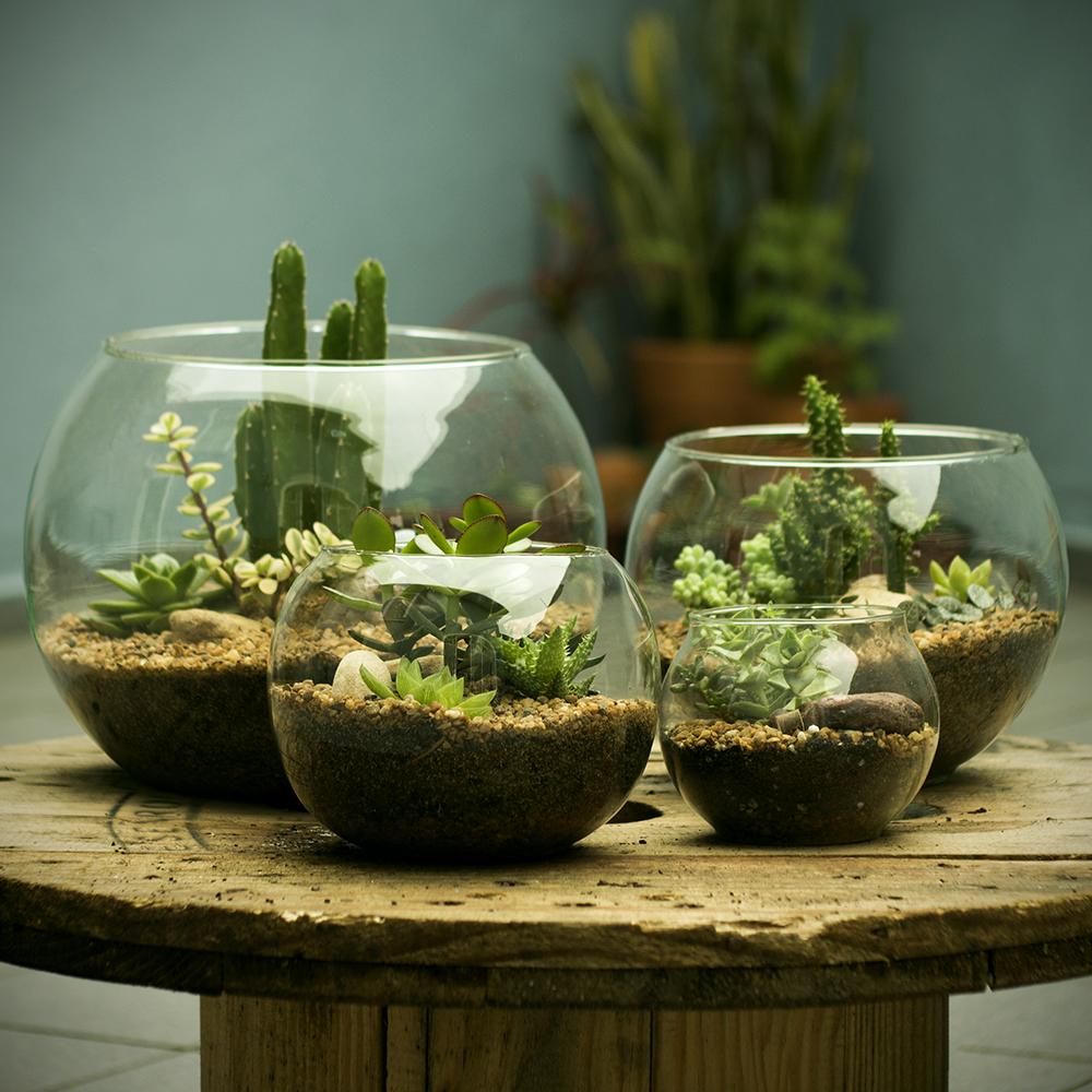 Terr rios os mini mundos - Plantas para terrarios ...