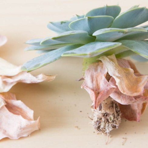 Its-normal-for-the-lower-leaves-on-succulents-to-die-Find-out-when-to-be-concerned-about-your-plants-585x877